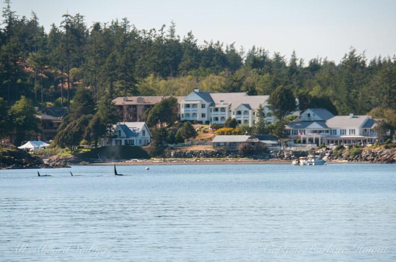 Orcas deep in Eastsound Orcas Island