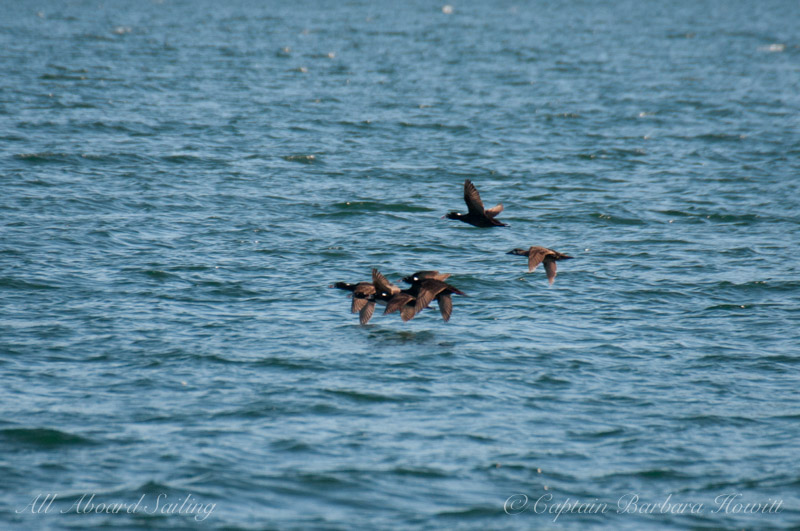 Surf Scoters in Eastsound