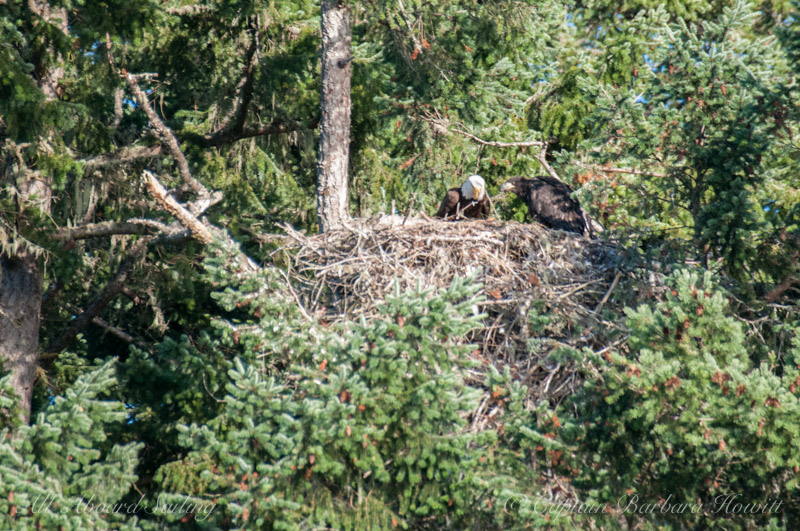 Bald eagle feeding chick