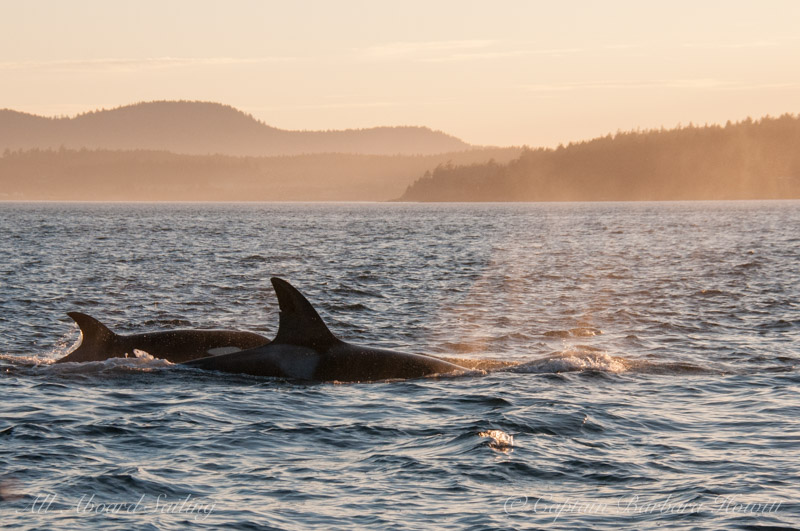 Orcas in the sunset
