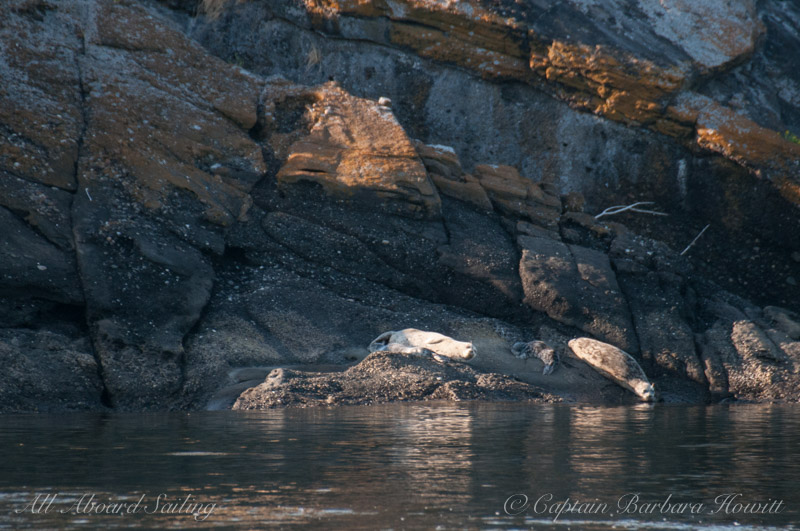 Two harbor seals with pups