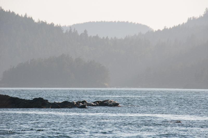 Harbor seals resting