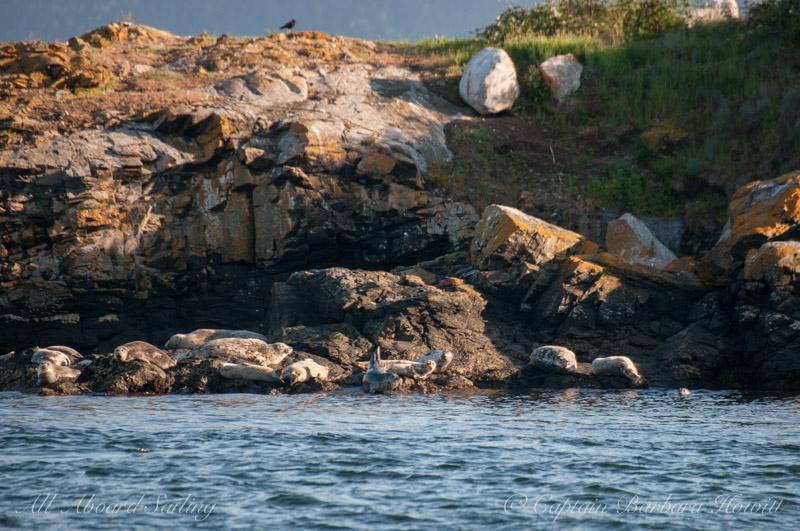 Harbor seals - Pea Pod Rocks