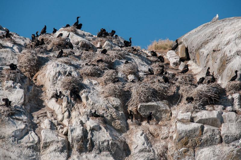Cormorant rookery - Mandarte Island