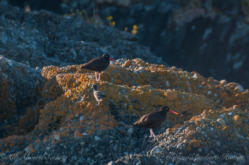 Black Oyster Catchers with chick
