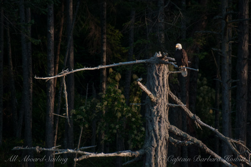 Bald eagle on broken tree