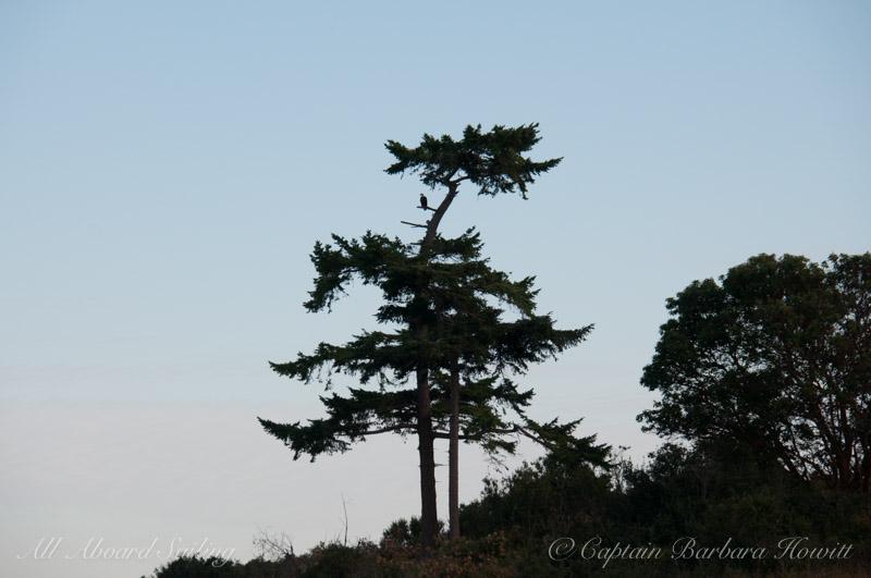 Bald eagle, Battleship Island