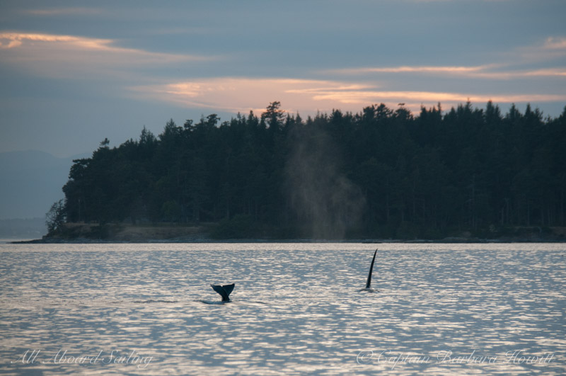 Orcas feeding