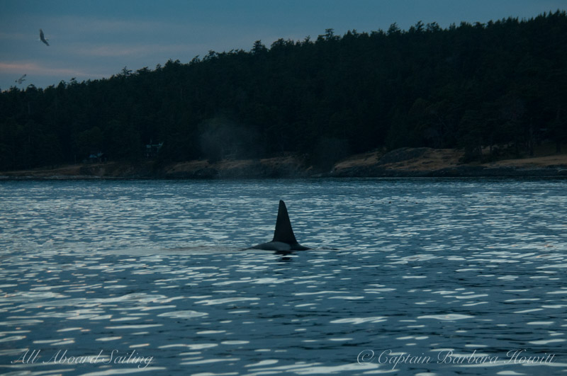 Male transient orca T49A1