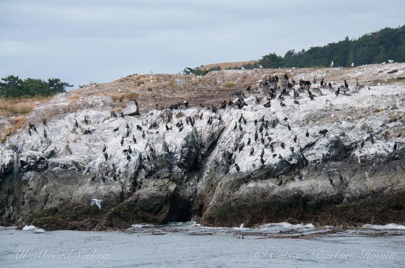 Cormorant rookery on Goose Island