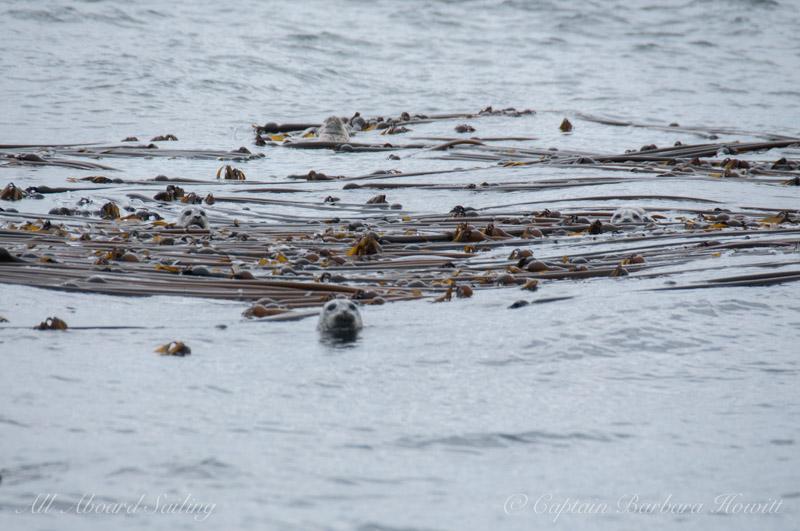Harbor seals in the kelp