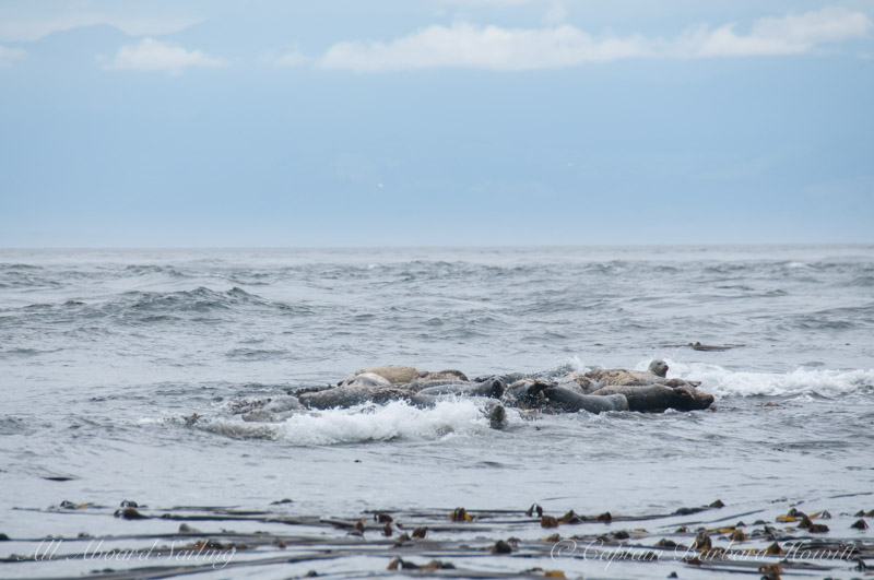 Harbor seals on rock with crashing waves