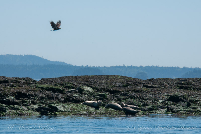 Bald eagle flying over harbor seals