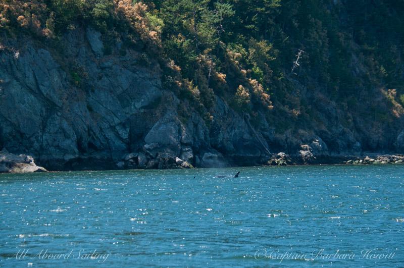 Orcas at Orcas Island
