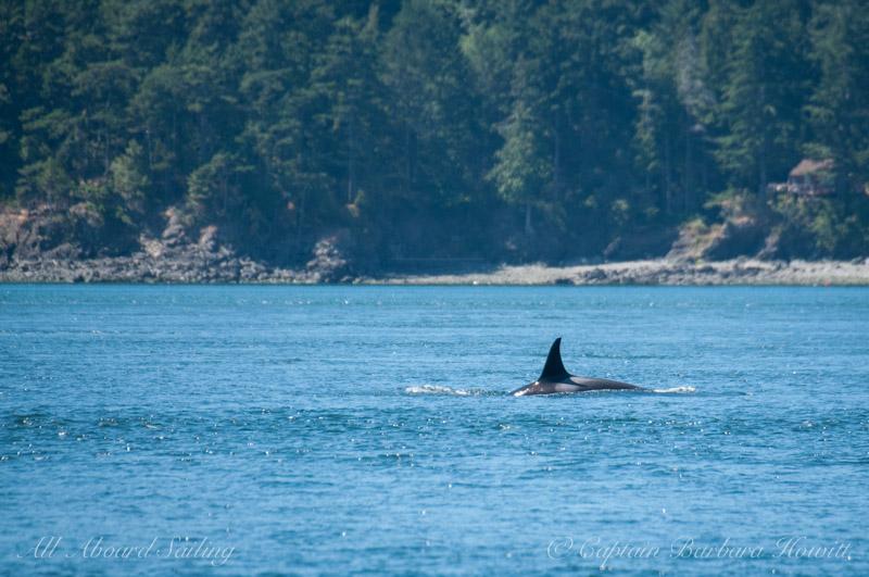 Southern Resident killer whale J36 Alki