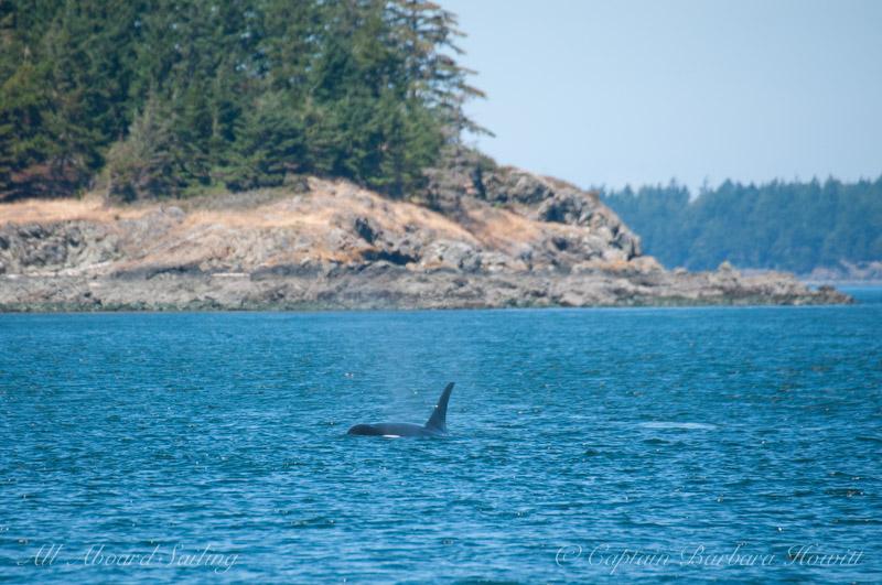 Southern Resident killer whale J16 Slick