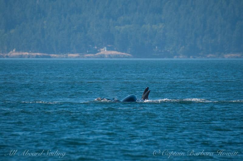 Pushing porpoise on rostrum