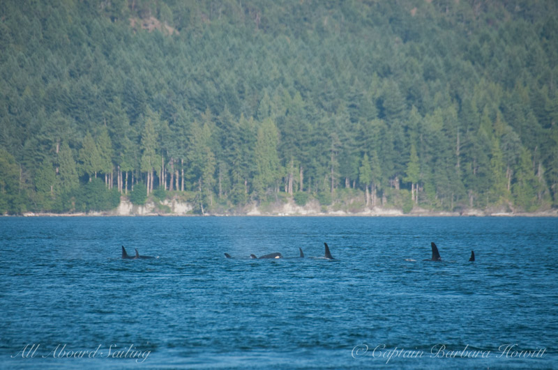 J pod heading down Rosario Strait in a tight group