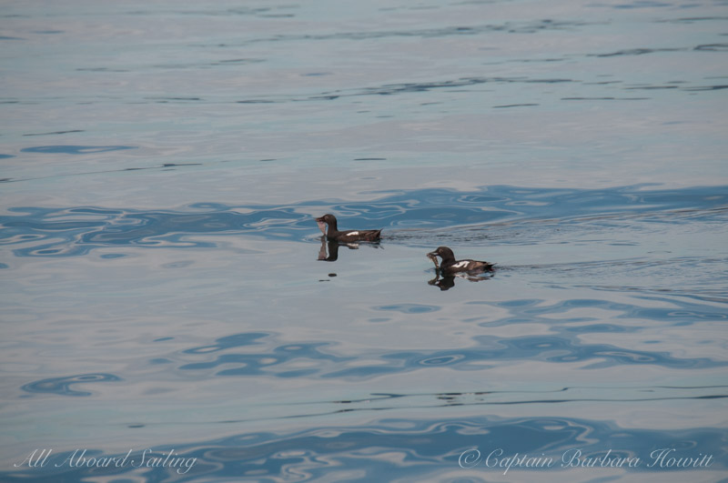 Pigeon Guillemots with fish