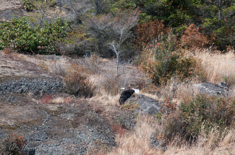 Bald eagle flying by Flattop Island