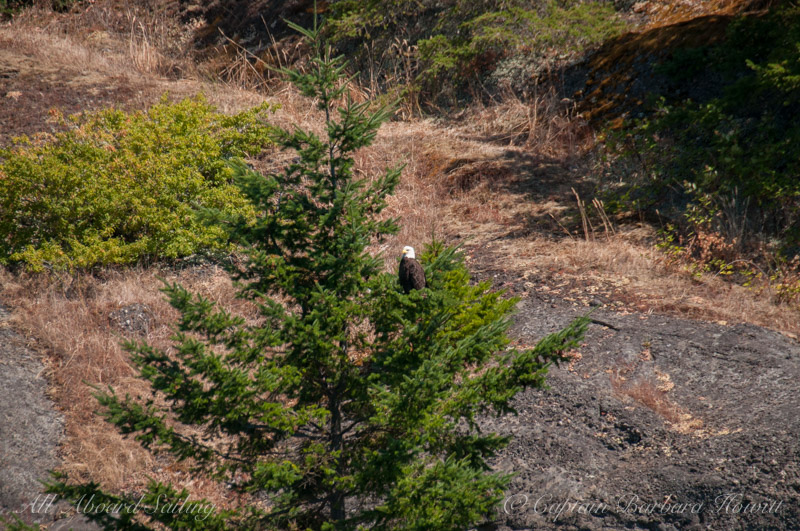 Bald eagle - Flattop Island