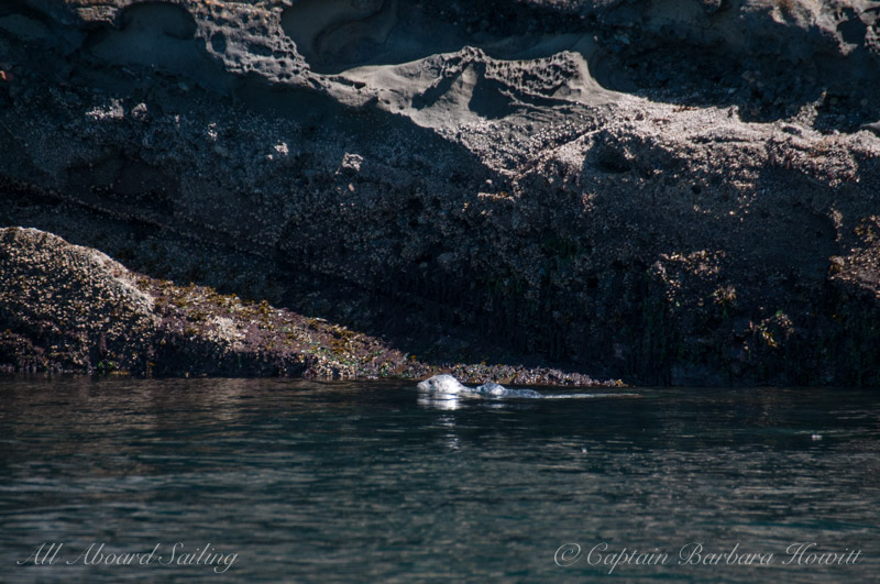Harbor seal with pup swimming on her back