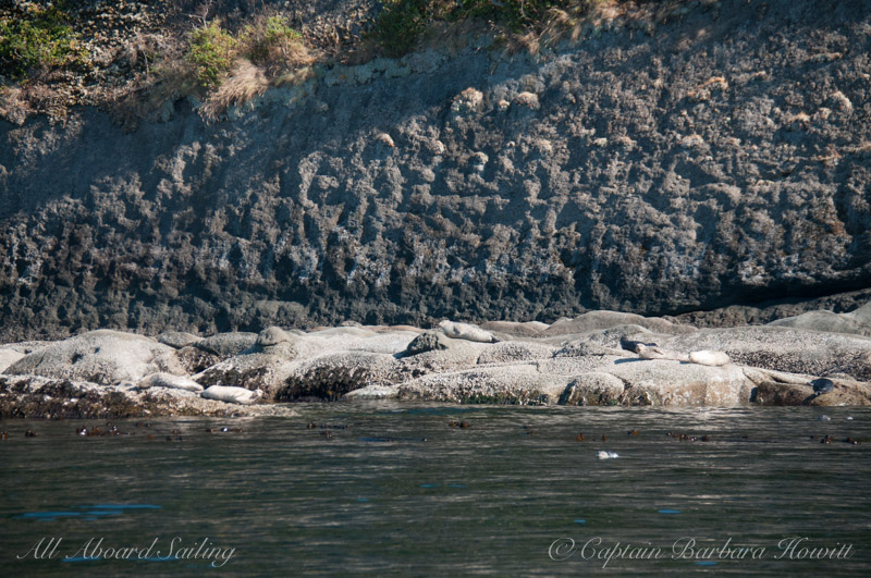Harbor seals - Skipjack Island