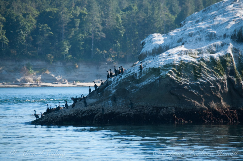 Cormorants - Bare Island