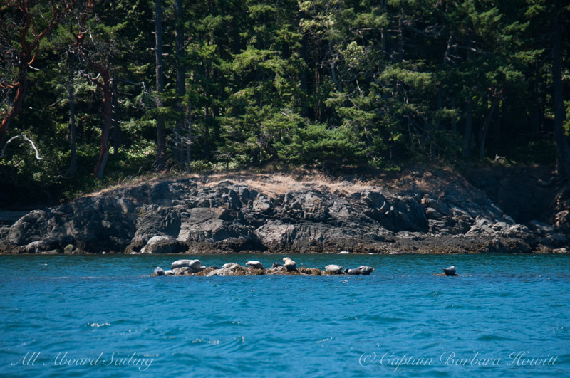 Harbor seals - Jones Island