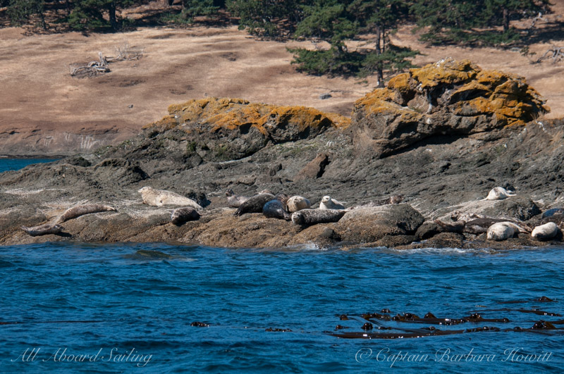 Many harbor seals on Sentinel Rock
