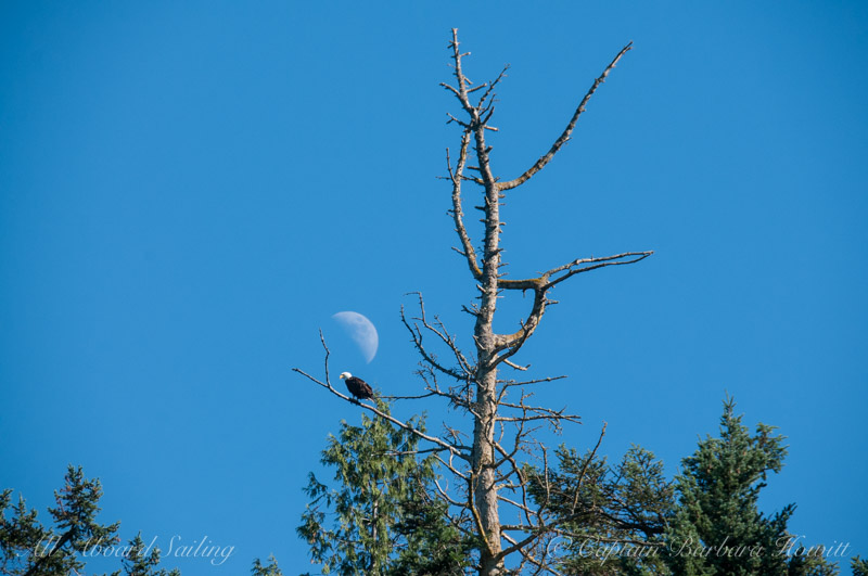 Bald eagle and moon