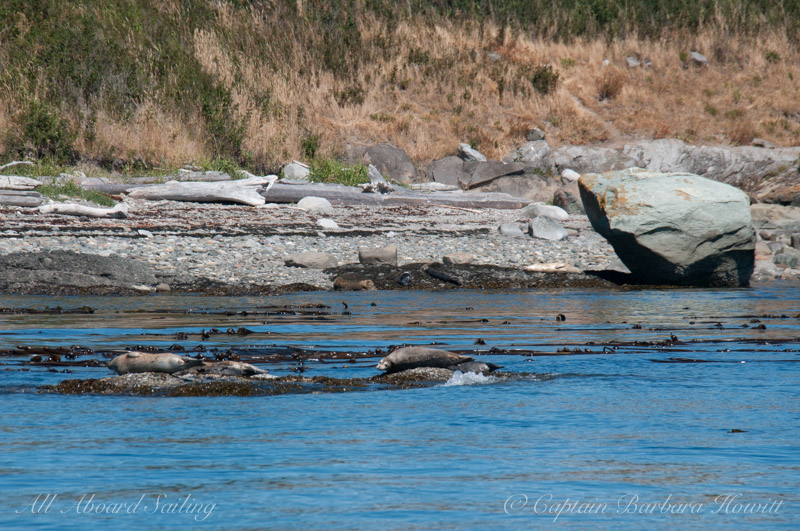 Harbor seals - Ripple Island