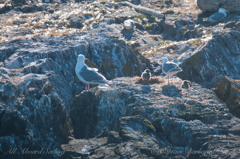 Gulls with chicks