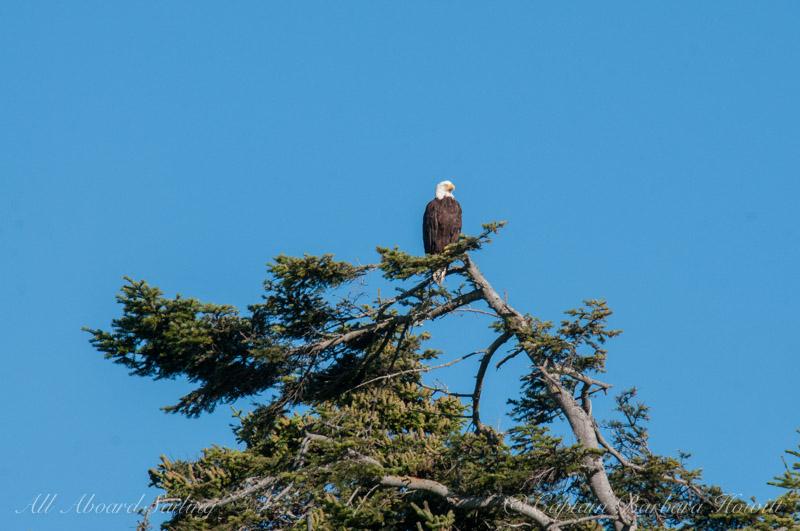 Bald eagle - Long Island