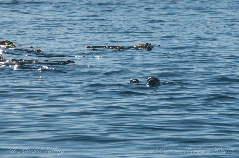 Harbor seal with pup