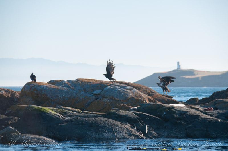 Bald eagle chasing turkey vulture