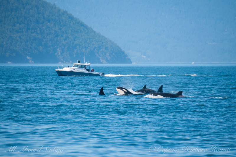 Group of transient orcas