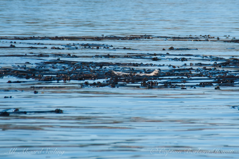 Harbor seal laying in the kelp