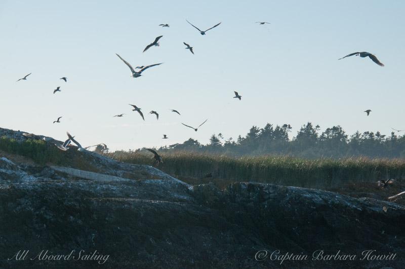 Bald eagle scaring birds