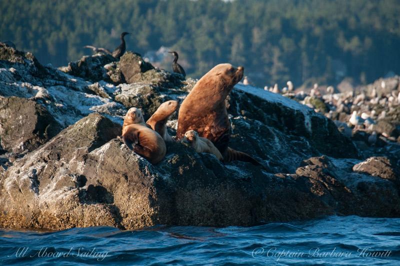 Northern Steller Sea Lions