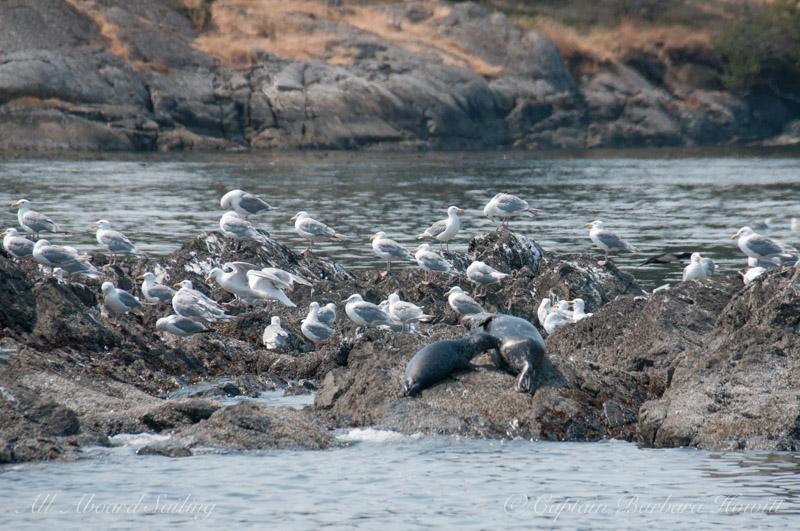 Harbor seal nursing