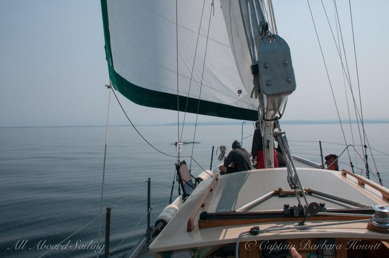 Sailing with minke whales