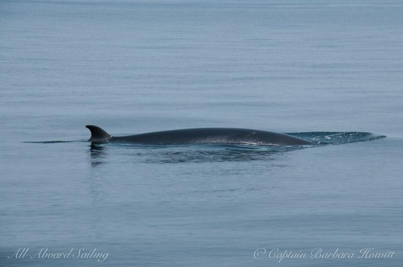 Minke whale surfacing