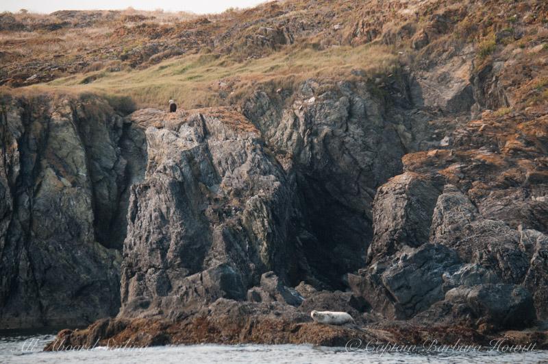 Bald eagle and harbor seal