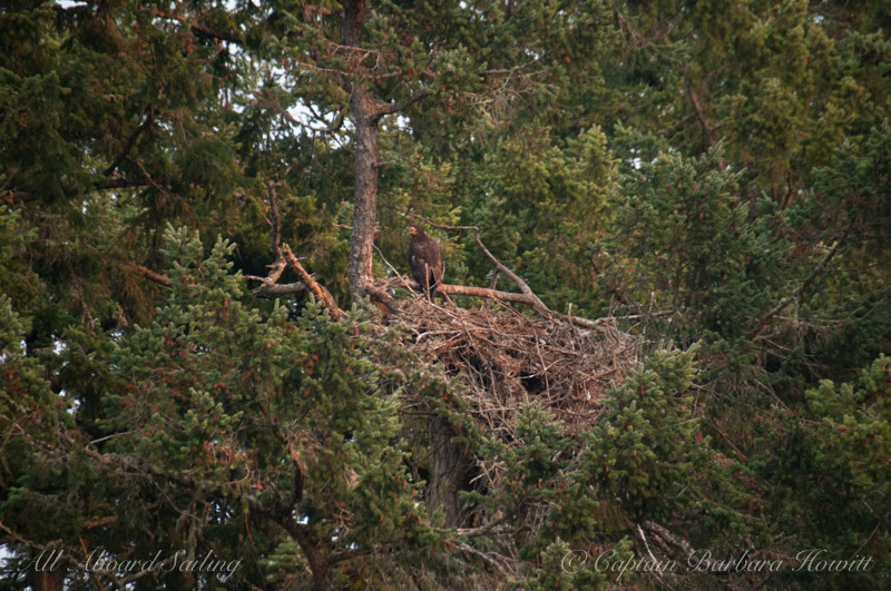 Bald eagle chick in nest