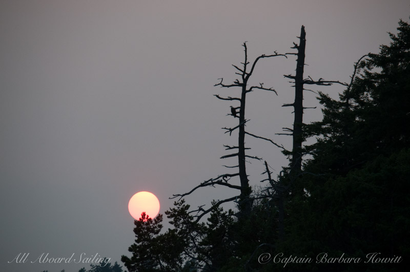 Sun with bald eagle perched in tree