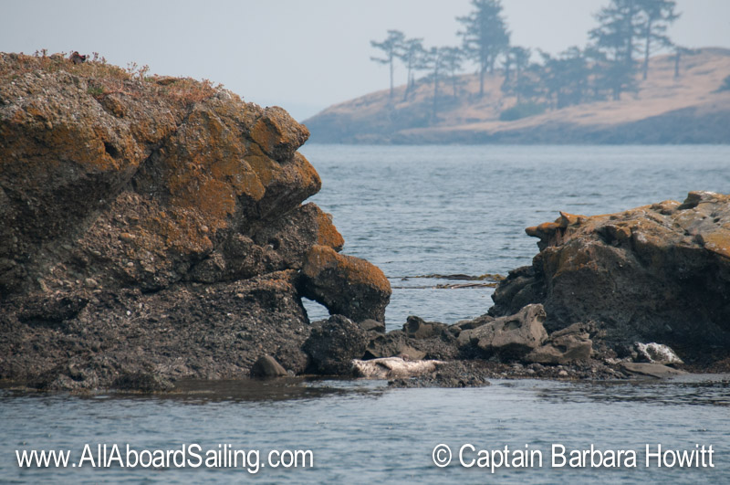 Harbor seal resting