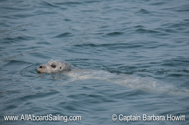 Harbor seal passing close by