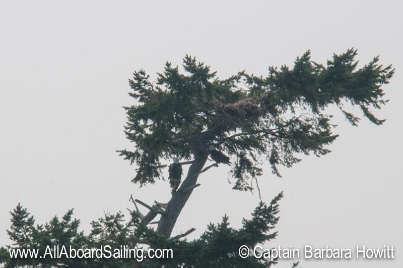 Bald eagle pair - Battleship Island