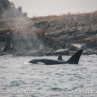 Biggs/Transient orcas T18/T19's visit Roche Harbor via Mosquito Pass